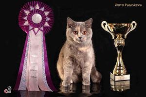 британские кошки. питомник